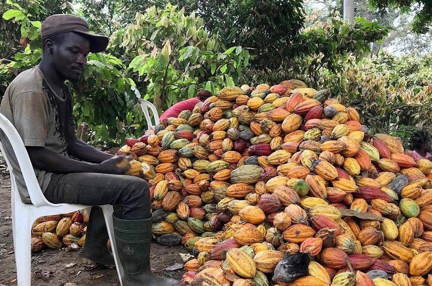 Cacao : nécessité des réformes en Côte d'Ivoire, 1er producteur mondial (rapport)