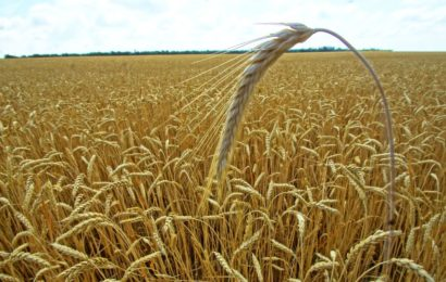 Quand l'Algérie fait trembler le marché européen du blé