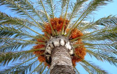 Patrimoine, Inscription de la culture du palmier-dattier à l'Unesco sans… l'Algérie ! : Un acte inconsidéré envers notre pays