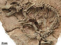 Algérie / Tlemcen : Découverte de fossiles de dinosaures à Béni-Snous