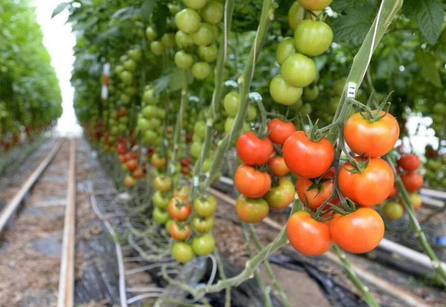 France / Un nouveau virus menace les cultures de tomates