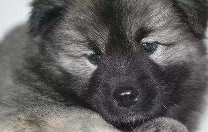 Un deuxième chien testé positif au coronavirus à Hong Kong