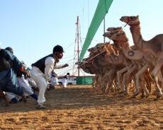 Les pays du Golfe très à cheval sur les courses de chameaux